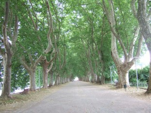 40  An amazing avenue of very tall plane trees at the entrance to Ponte de Lima